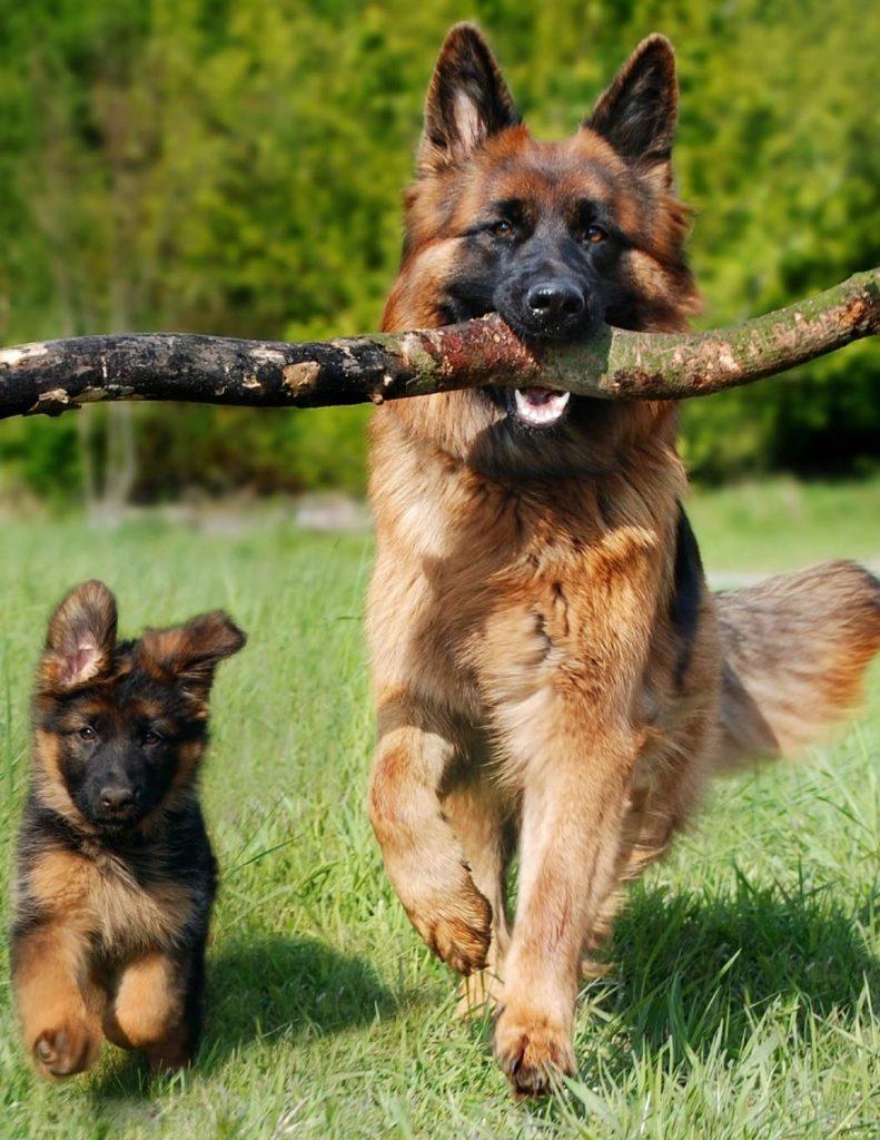 Temperamen dan Kepribadian German Shepherd